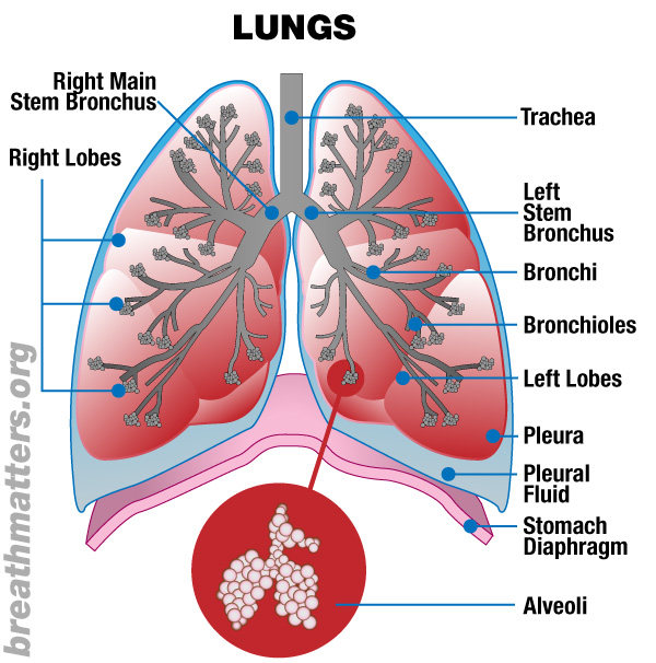 Foods To Help Keep Your Lungs And Respiratory System Healthy